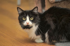 Fluffy black and white cat Stock Image