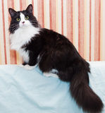 Fluffy black and white cat sitting Royalty Free Stock Photo