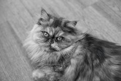 Fluffy black-white Persian cat on wooden background Beautiful home long-haired young cat. Fluffy black-white Persian cat on wooden background. Beautiful home royalty free stock image
