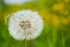 Fluffy blowball on bright background Stock Photos