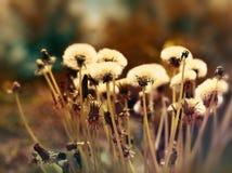 Fluffy blowball - dandelion seeds Stock Photos