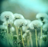 Fluffy blowball - dandelion seeds in spring Royalty Free Stock Photography