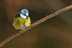 Fluffy blue. Blue tit in winter on a branch Stock Photography