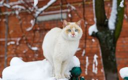 Fluffy blue-eyed cat sitting on fence of brick house on winter day. Closeup portrait Royalty Free Stock Photo