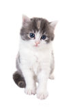 Fluffy blue-eyed kitten sitting on white background Royalty Free Stock Photo