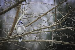 Fluffy Blue Jay on Mulberry tree branch on a wintry day royalty free stock photos