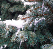 Fluffy blue spruce branch snow. Fluffy blue spruce branch in the snow Stock Photo