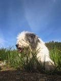 Fluffy bobtail resting on grass Stock Image