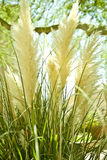 Fluffy bog reed tufts Stock Image