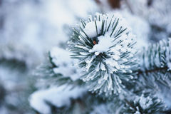 Free Fluffy Branches Of Tree Covered With Snow And Hoar Frost On A Cold Day. Royalty Free Stock Photo - 82654595