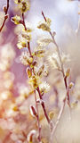 Fluffy branches of a willow Royalty Free Stock Photo