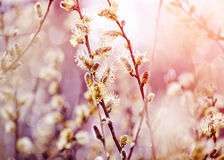 Fluffy branches of a willow Royalty Free Stock Image