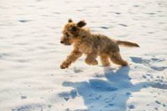 Fluffy briard puppy runs on snow. Fluffy briard puppy & x28;4 month ´s & x29; runs on snow royalty free stock images
