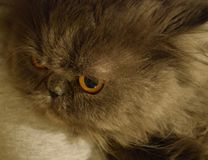 Fluffy britain gray cat with yellow eyes. Fluffy britain and persian gray cat with yellow eyes and long mustaches stock images