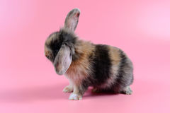 Fluffy brown and black rabbit on clean pink background, little bunny Royalty Free Stock Photos