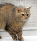 Fluffy brown cat Royalty Free Stock Photography