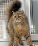 Fluffy brown cat Royalty Free Stock Images