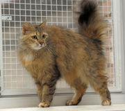 Fluffy brown cat Royalty Free Stock Photo