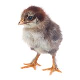 Fluffy brown chick chicken isolated on white Stock Photos