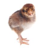 Fluffy brown chick chicken isolated on white background Stock Photo