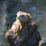 Fluffy brown eagle in captivity. Fluffy feathers on brown eagle standing in captivity at zoo stock photography