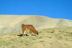 Fluffy brown Lama on altiplano. Fluffy lama in the Andes mountains altiplano stock image