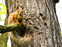Fluffy brown squirrel. In tree Stock Images