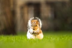 Fluffy brown squirrel eating a nut on green grass royalty free stock photo