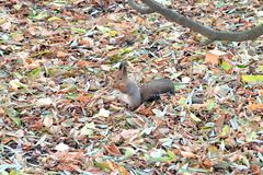 Fluffy brown squirrel sits between on fallen leaves carpet in autumn park. Fluffy brown squirrel sits between colorful fallen leaves carpet in autumn park and Stock Image