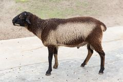 Fluffy brown and white child young sheep. Short hair view from side outdoor of sheep farm park Royalty Free Stock Photos