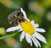 Fluffy bug. Two fluffy bug pairing on camomile Royalty Free Stock Photos