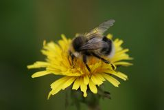 Fluffy bumble bee on yellow dandelion Royalty Free Stock Photo