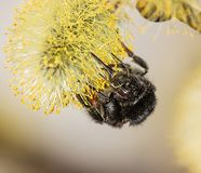 Fluffy bumblebee on a flower with pollen stock photos