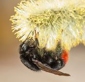 Fluffy bumblebee on a flower with pollen royalty free stock image