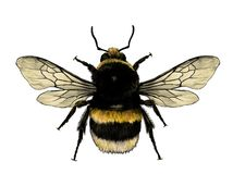 Free Fluffy Bumblebee Top View With Wings Stock Photos - 150719783
