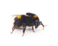 Fluffy bumblebee. Royalty Free Stock Photo