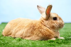 Fluffy bunny Royalty Free Stock Image