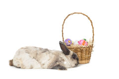 Fluffy bunny with basket of Easter eggs Royalty Free Stock Image