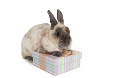 Fluffy bunny with gift box Stock Photos