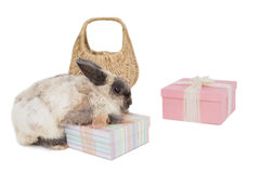 Fluffy bunny with gift boxes and wicker basket Royalty Free Stock Image