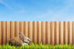 Fluffy bunny on green grass field. With wooden fence Royalty Free Stock Photo
