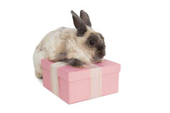 Fluffy bunny with pink gift box Royalty Free Stock Photos