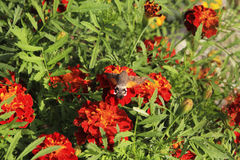 Fluffy butterfly on red marigolds. Fluffy brown butterfly on summer red marigolds Stock Photos
