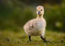 Fluffy Canada Gosling Walking royalty free stock photo
