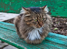Fluffy cat Royalty Free Stock Photo