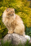 Fluffy cat Royalty Free Stock Photography