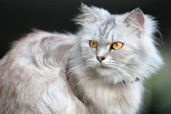 Fluffy cat. A fluffy yellow eyed cat sitting on a wall stock image