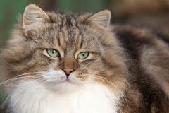 Fluffy cat. Close up of a gray striped fluffy cat Royalty Free Stock Images