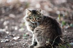 Fluffy cat. Close up of a gray striped fluffy cat Stock Photography