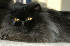 Fluffy cat 4. Black persian cat stock photo